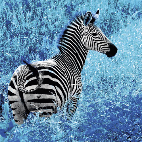 Blue Zebra Talent - Zebra in Blue Field